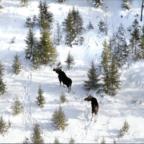 Moose_Survey